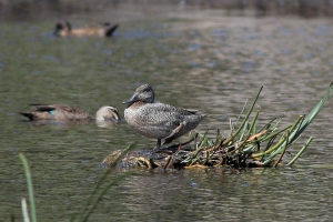 Freckled Duck sighting near Wallagoot lake