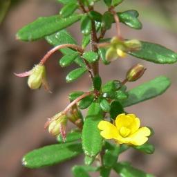 Image courtesy of Plant Database Hibbertia_empetrifolia