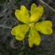 Image courtesy of Plant Database Hibbertia_riparia