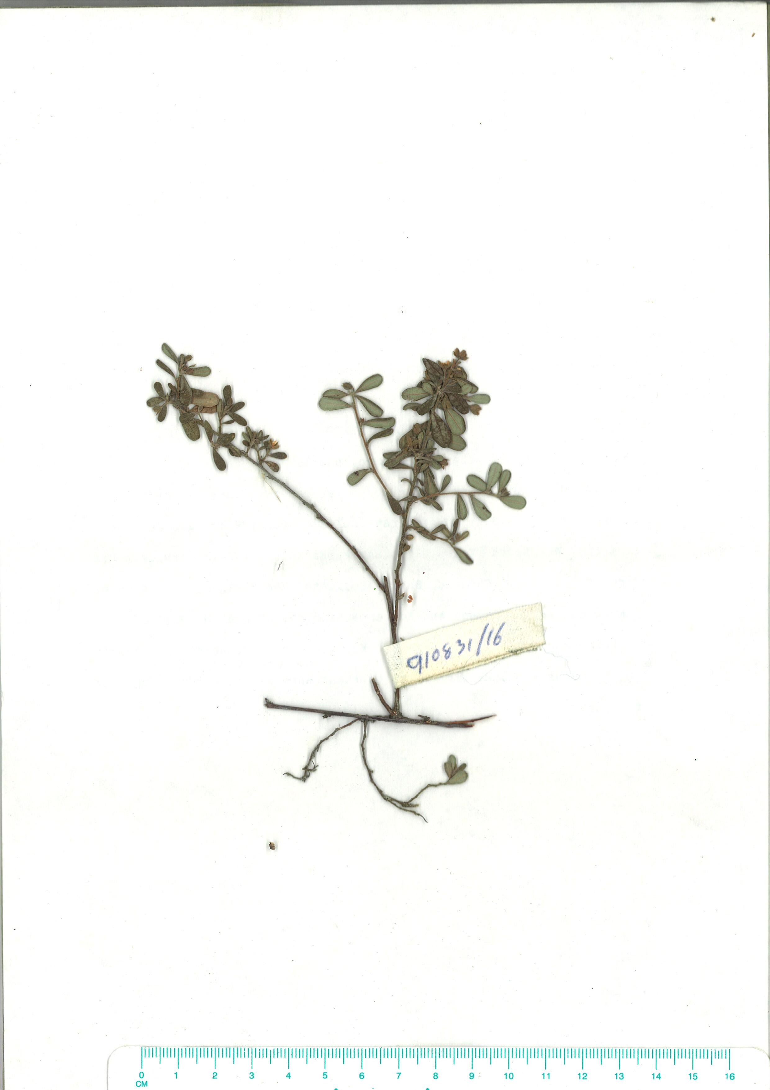 Scanned herbarium image of Hibbertia aspera