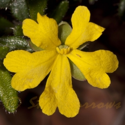 Image courtesy of Steve Burrows Hibbertia aspera