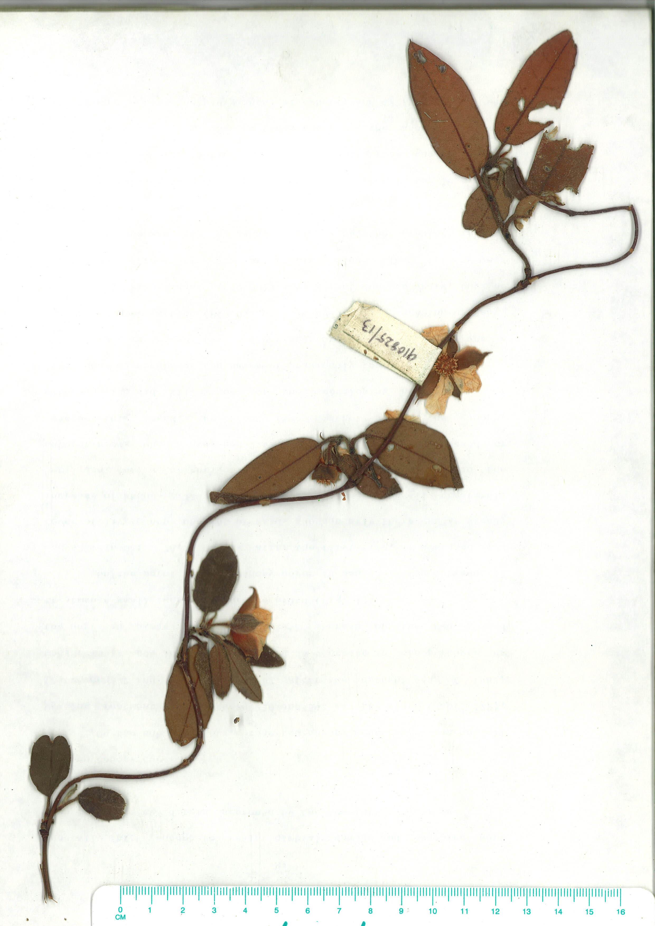 Scanned herbarium image of Hibbertia dentata
