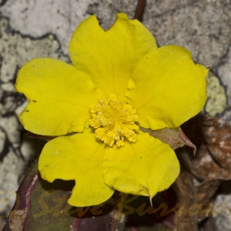 Image courtesy of Steve Burrows Hibbertia dentata