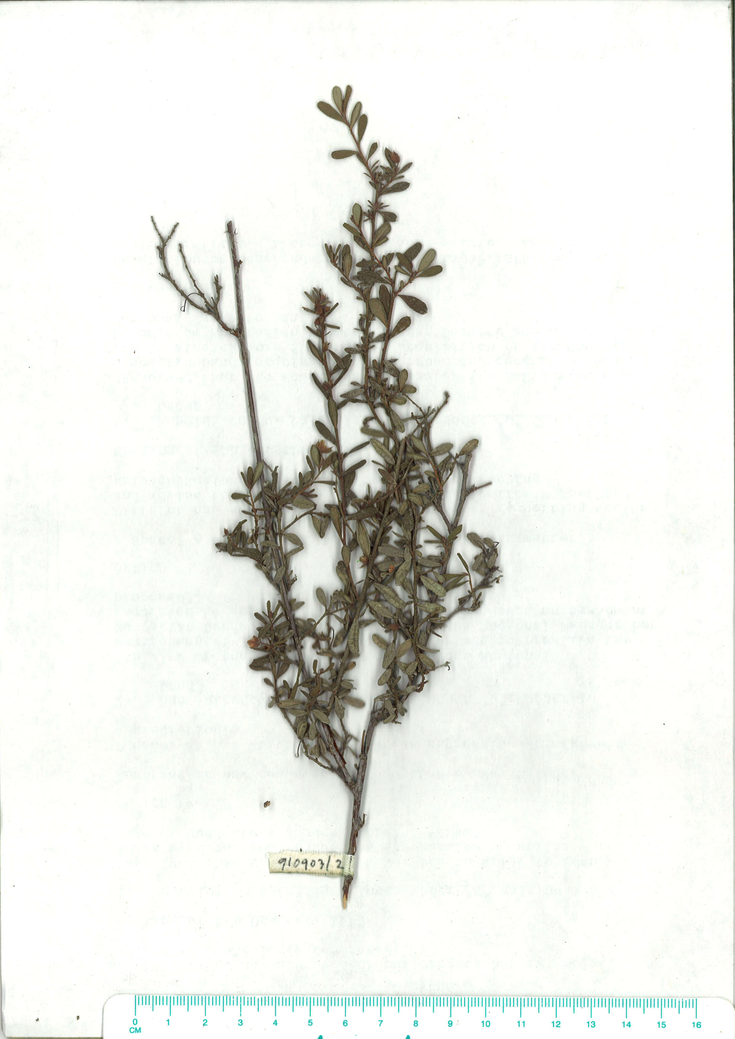 Scanned herbarium image Hibbertia empetrifolia
