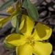 Image courtesy of Steve Burrows Hibbertia obtusifolia