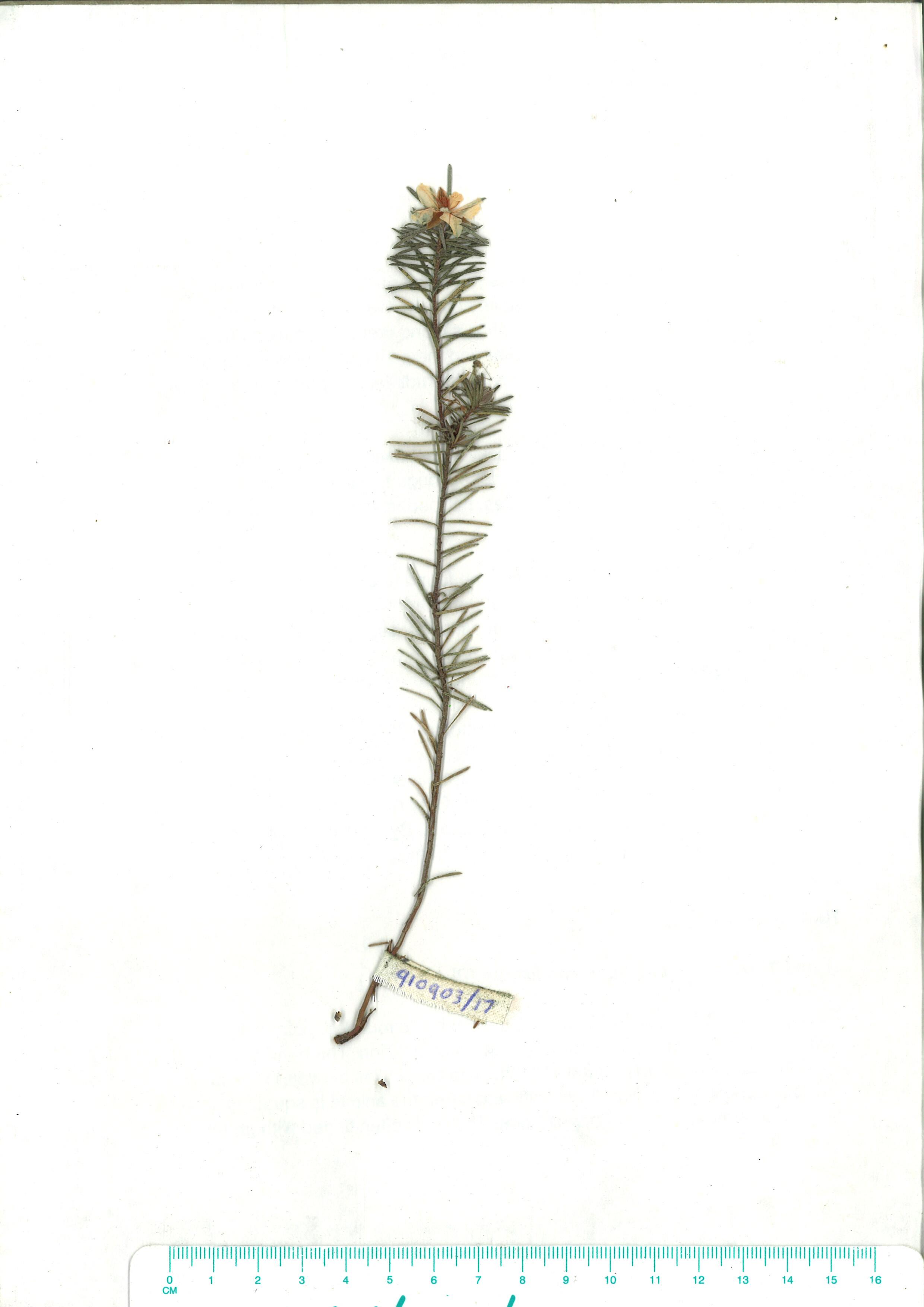 Scanned herbarium image Hibbertia riparia