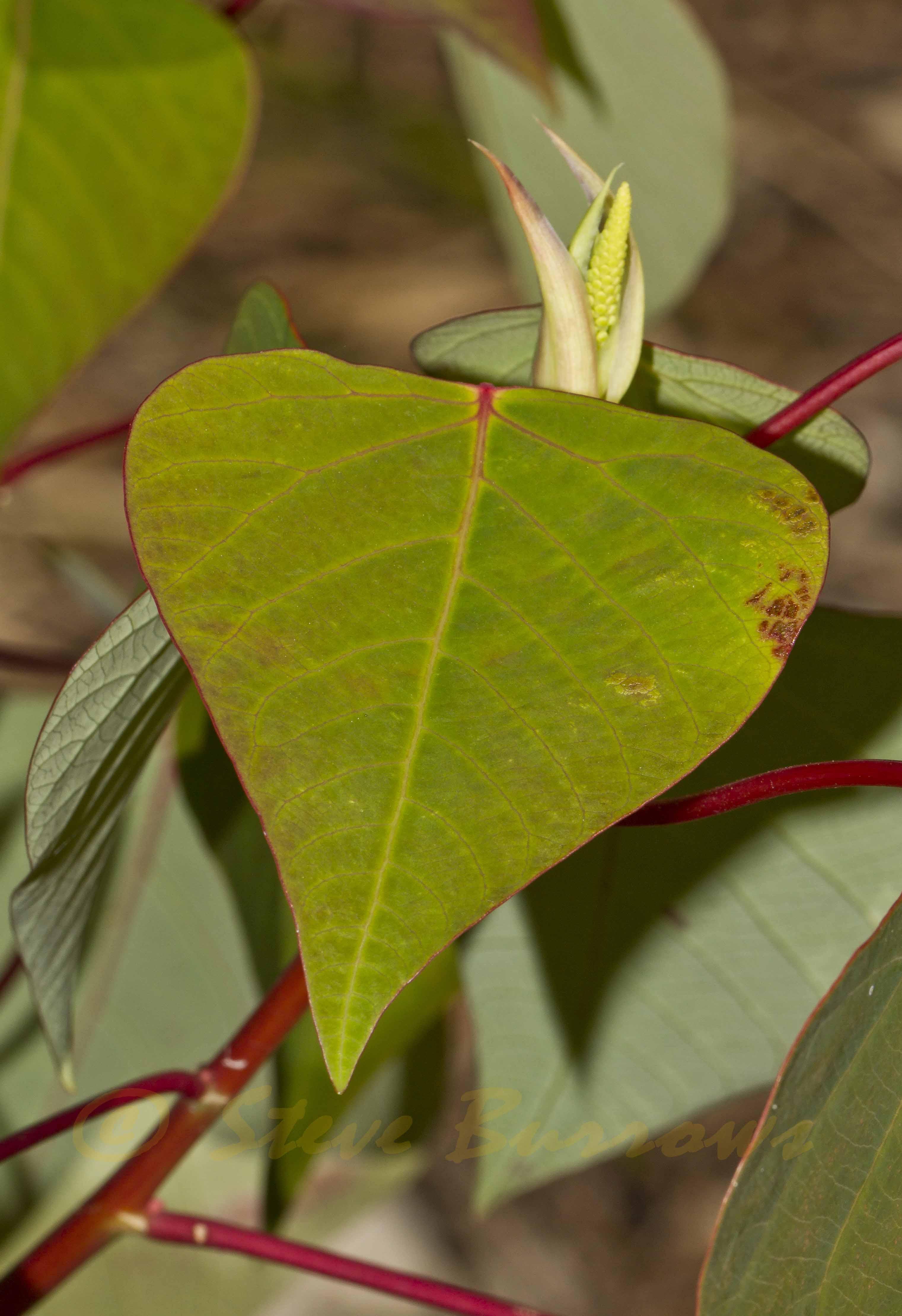 Image courtesy of Steve Burrows Homalanthus populifolius