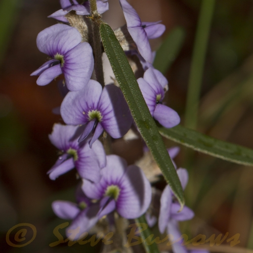 Image courtesy of Steve Burrows Hovea_sp