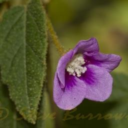 Image courtesy of Steve Burrows Howittia trilocularis