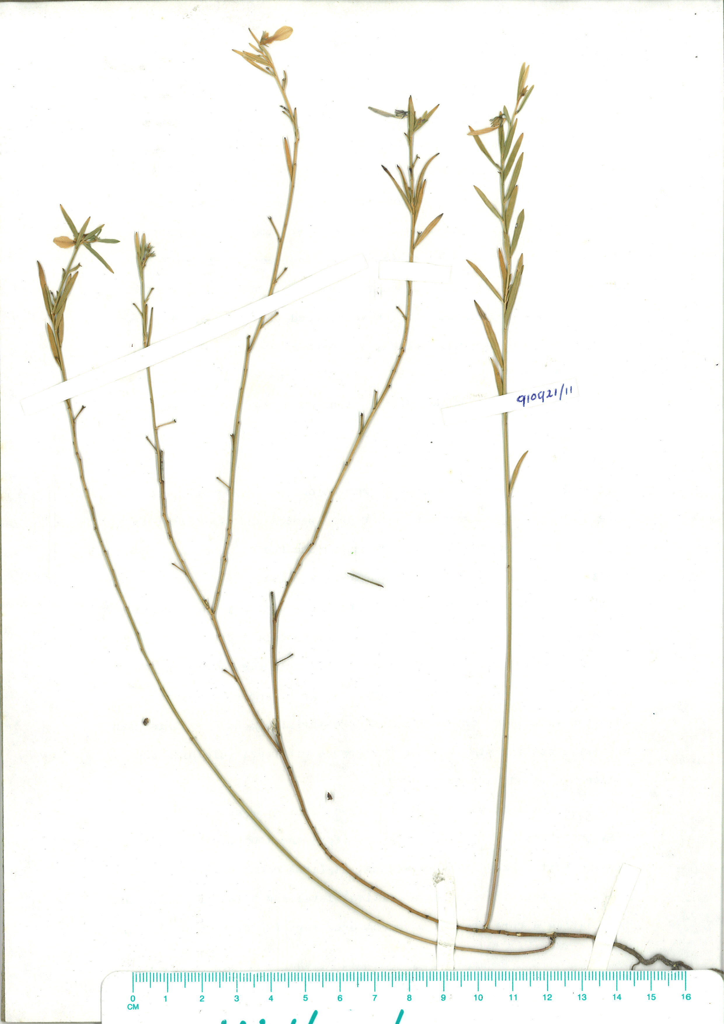 Scanned herbarium image Hybanthus vernonii