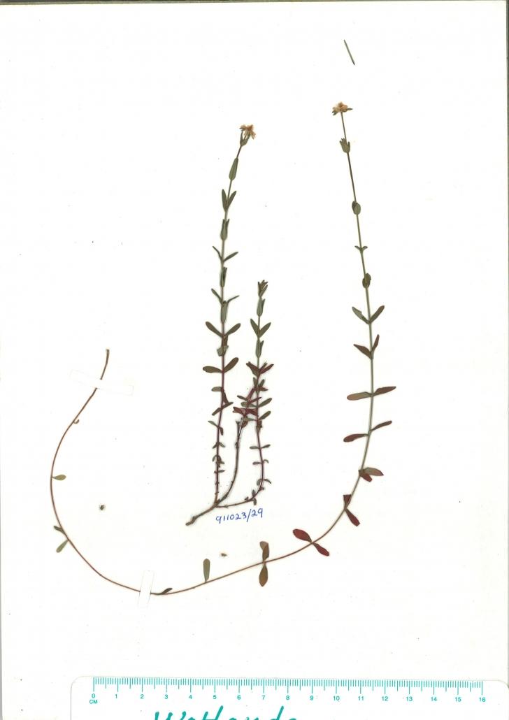 Scanned herbarium image Hypericum gramineum