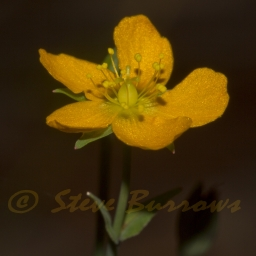 Image courtesy of Steve Burrows Hypericum gramineum