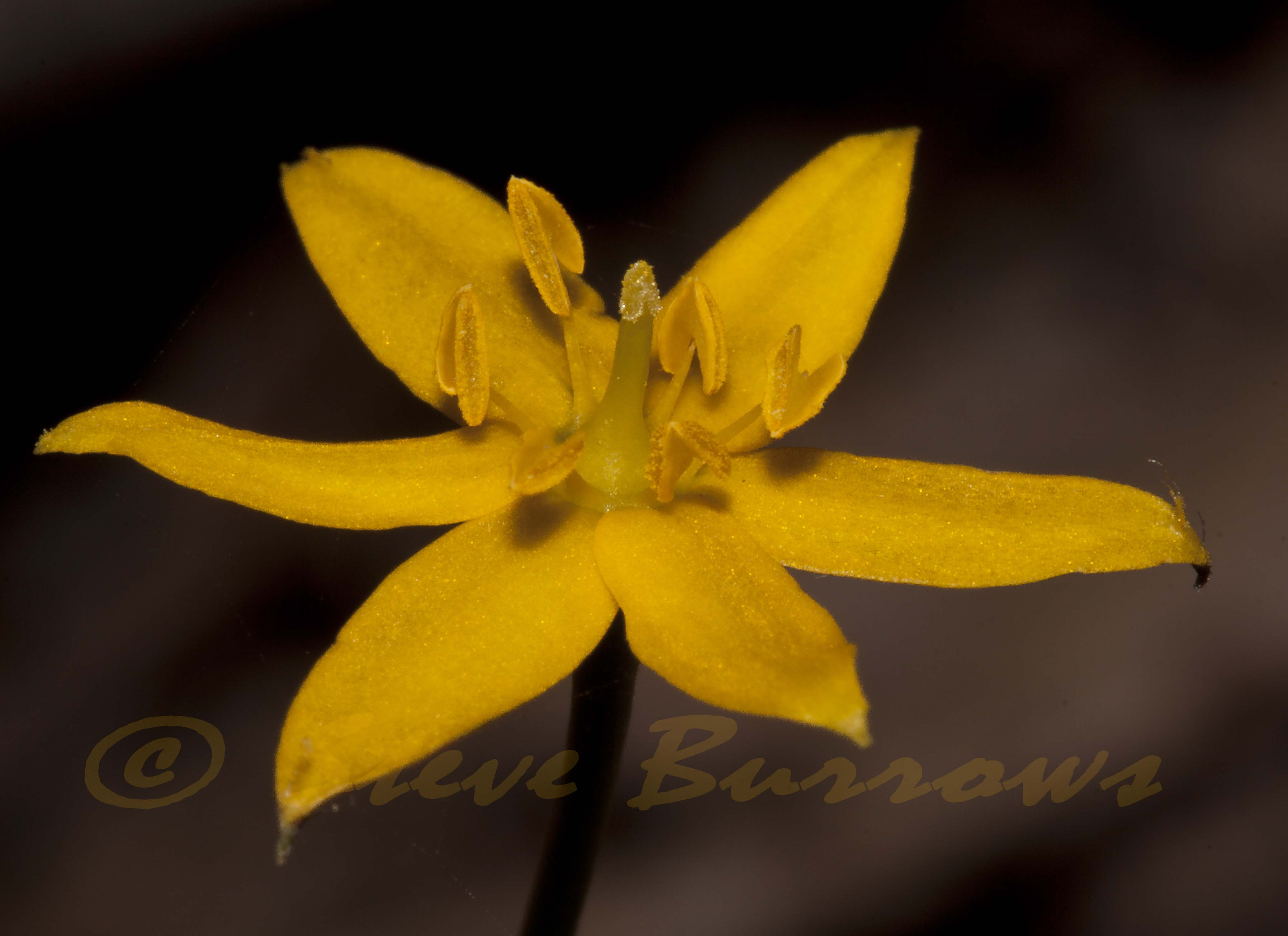 Image courtesy of Steve Burrows Hypoxis sp.
