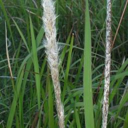 Image courtesy of Plant Database Imperata_cylindrica_blady_grass
