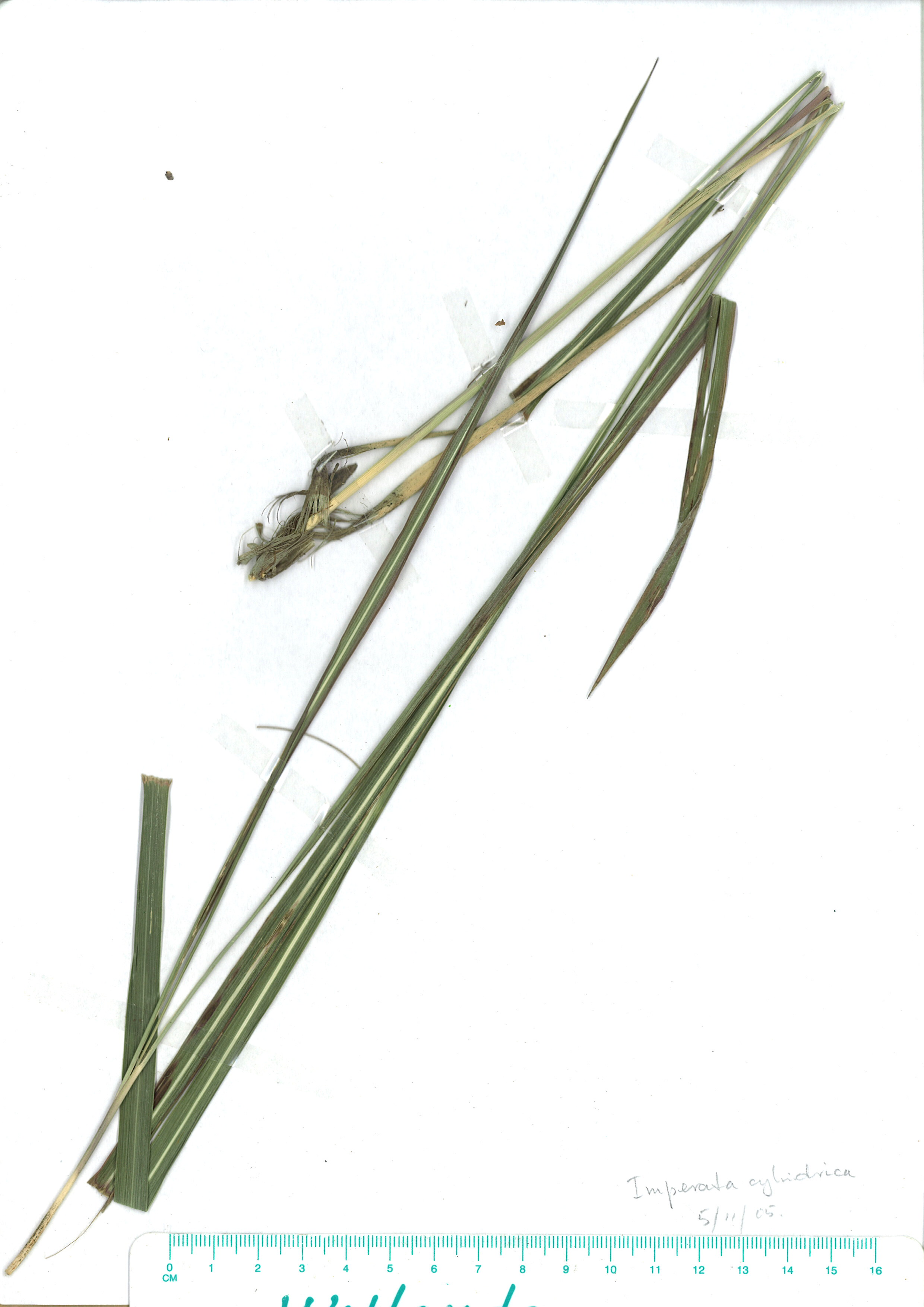 Scanned herbarium image of Imperata cylindrica
