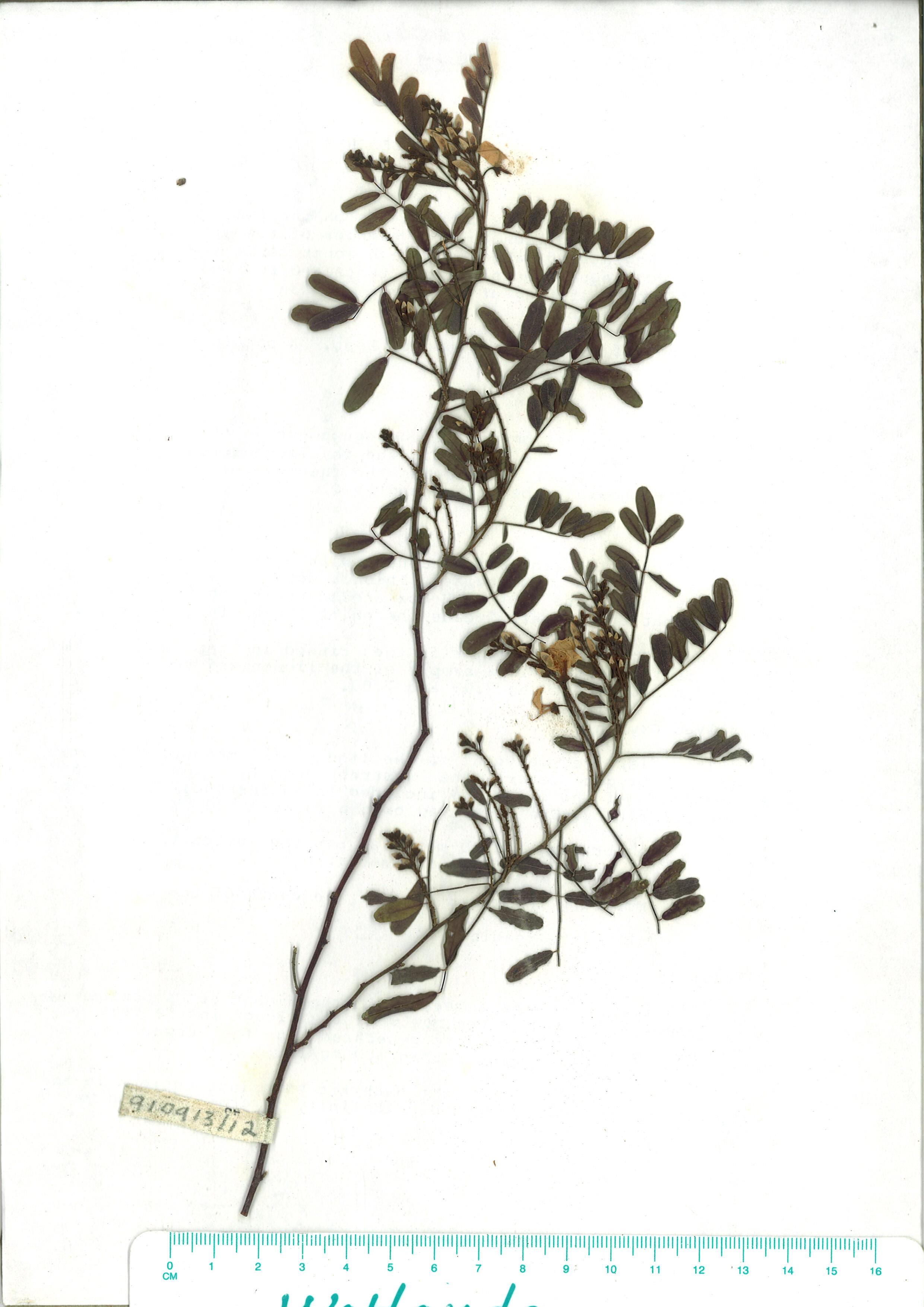 Scanned herbarium image Indigofera australis