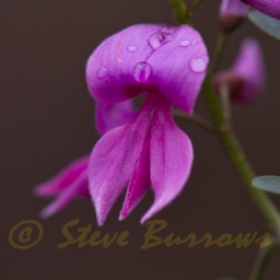 Image courtesy of Steve Burrows Indigofera australis