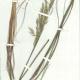 Scanned herbarium image of Joycea pallida