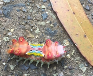 Colourful cup moth larvae