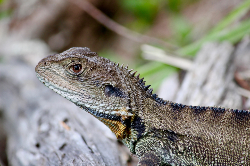 Water dragon at Bournda National Park