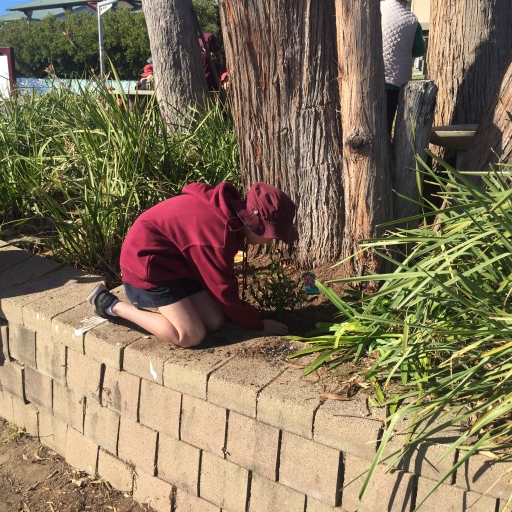 Planting native flowering shrubs to support birds at Tathra Public School
