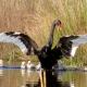 swans at Panboola